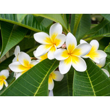 Frangipani Leaves Canvas Wall Art Print
