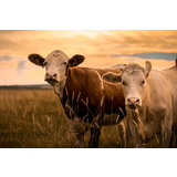 Cows in Sunset Canvas Wall Art