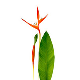 Red Heliconia Flower Canvas Print Wall Art