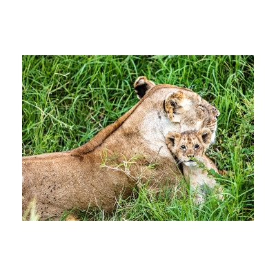 Mother Lion and Baby Cub Canvas Print Wall Art